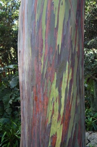[Image: Rainbow Eucalyptus.]