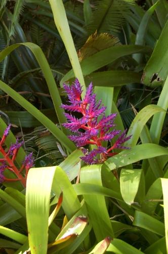 [Image: Bromeliad.]