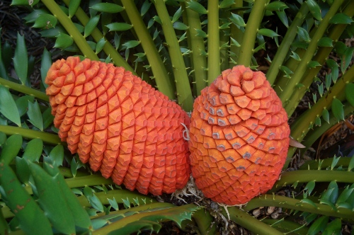 [Image: These seed cones are about twenty inches long.]