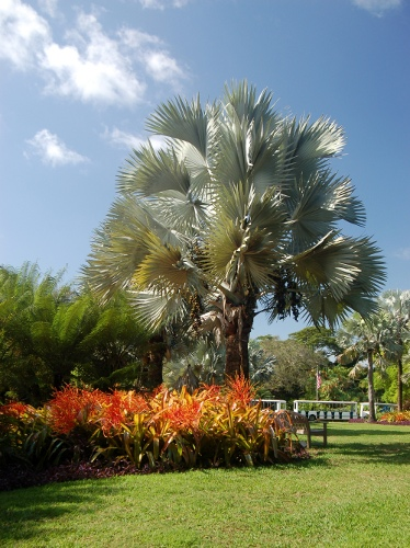 [Image: Silver Bismark palm and bromeliads.]